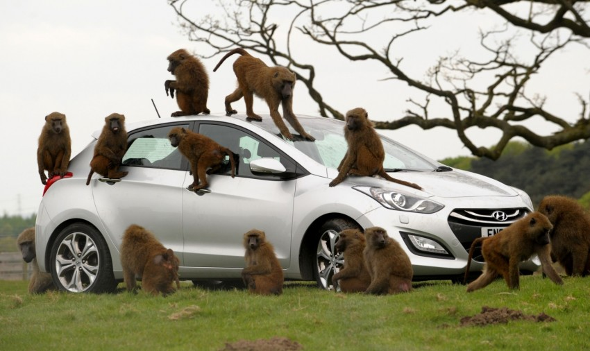 Hyundai i30, besieged by primates, goes ape for 10 hours Image #106602