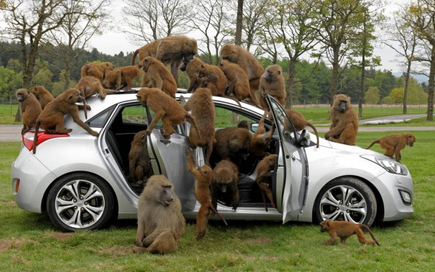 Hyundai i30, besieged by primates, goes ape for 10 hours Image #106601
