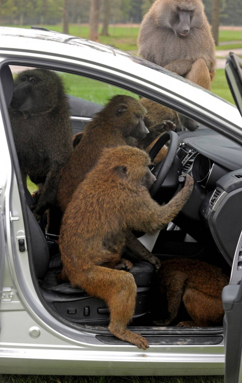 Hyundai i30, besieged by primates, goes ape for 10 hours Image #106598