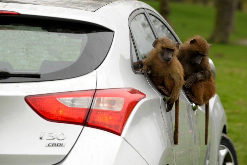 Hyundai i30, besieged by primates, goes ape for 10 hours Image #106597
